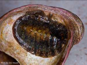 Eastern Bearded Chiton